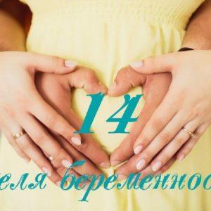 14 неделя беременности – размер и вес плода, фото и УЗИ ребенка, нежелательные признаки и симптомы